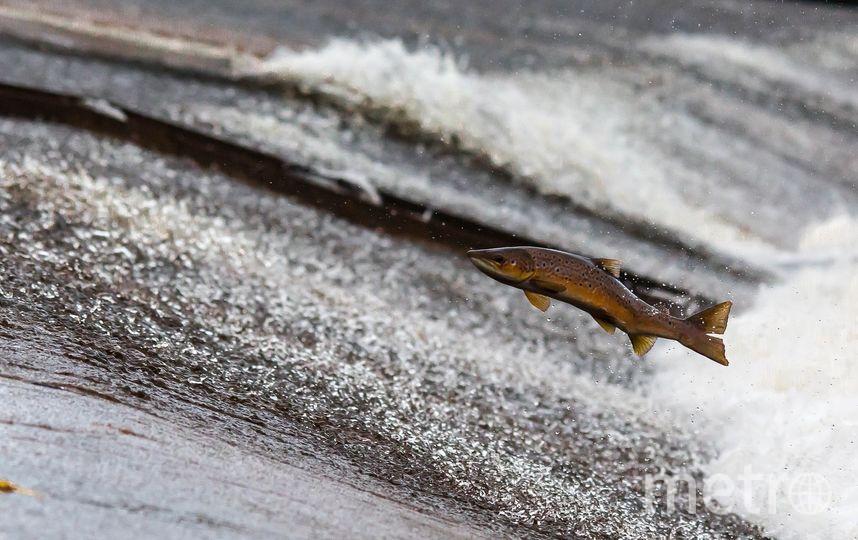 В американском штате Аляска из-за беспрецедентной жары массово гибнет лосось. Архивное фото. Фото pixabay.com