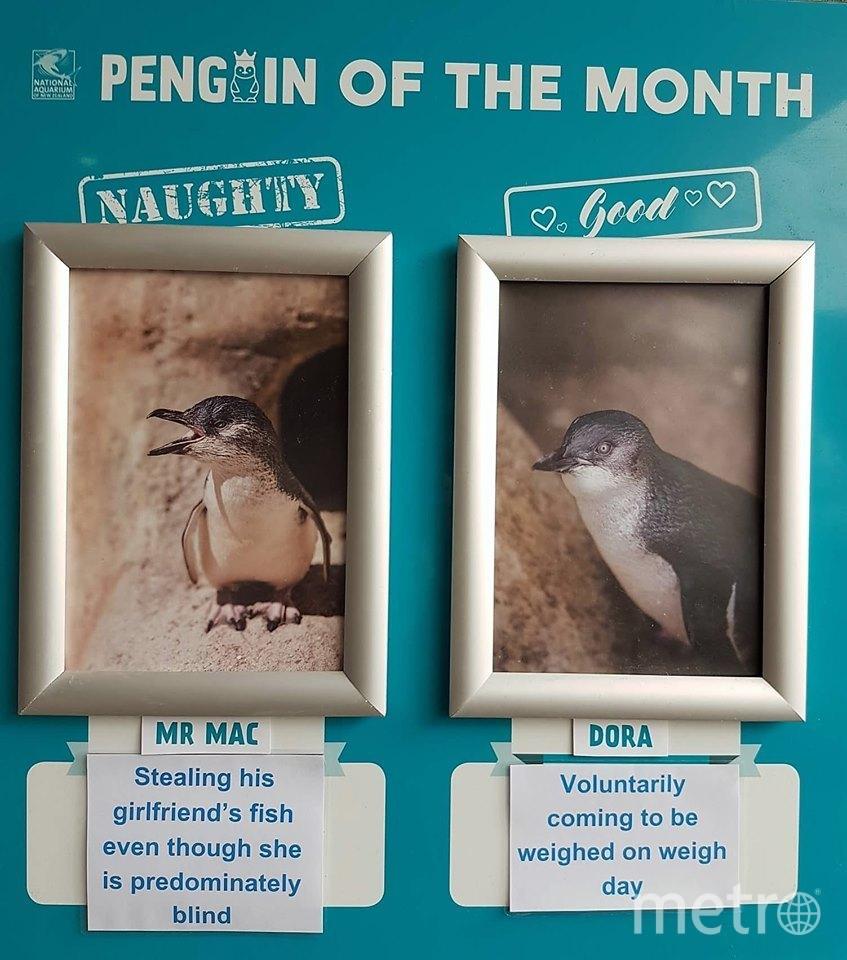 В Новой Зеландии выбирают непослушного пингвина месяца