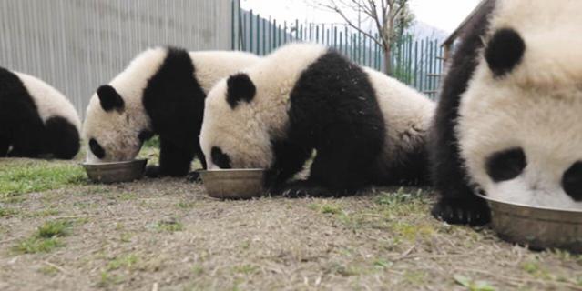 Ночь кино. Премьера документального фильма «Большое путешествие больших панд»..