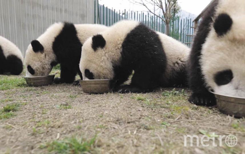 Ночь кино. Премьера документального фильма «Большое путешествие больших панд».. Фото Скриншот. Предоставлено Московским зоопарком