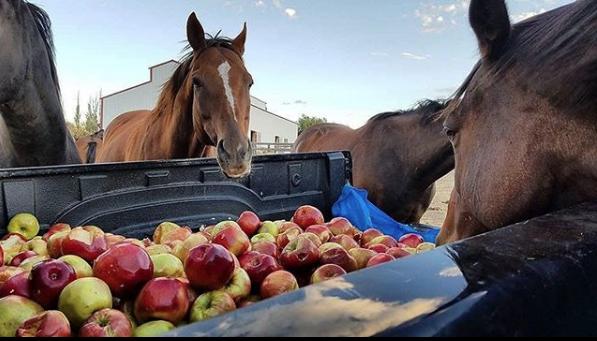 Отдать яблоки можно на корм лошадям. Фото instagram @givinghopefund