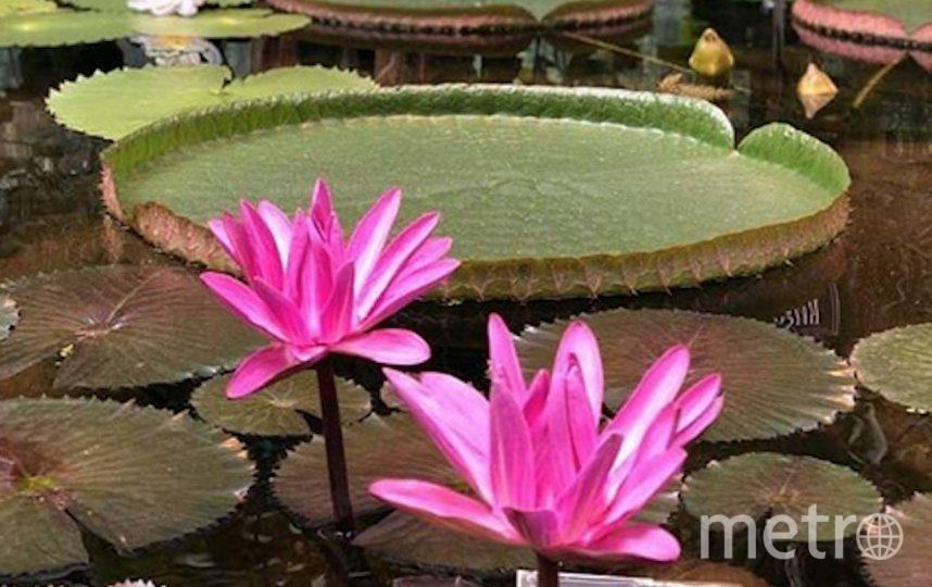 Виктория амазонская (Victoria amazonica). Фото скриншот: instagram.com/hortus_ru/