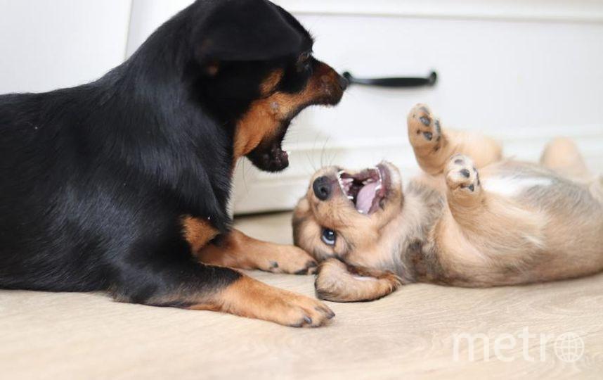 """метисы такс, Буся и Нюша, две собаки, которые идеально созданы друг для друга. Любимая игра- дружеский КУСЬ!. Фото Дарья, """"Metro"""""""