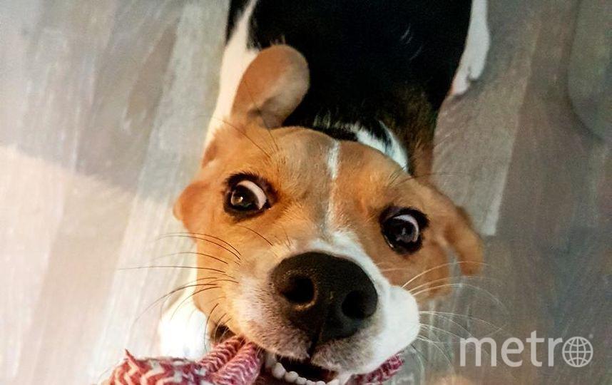 """Кличка собаки Фиби. Бигль. Недавно исполнился годик. Очень общительная, ласковая и игривая девочка. Порычать и показать свои клыки может во время игры в перетягивание.. Фото Юрий, """"Metro"""""""