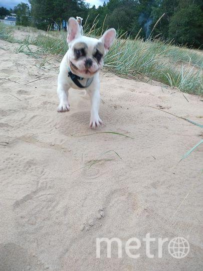 """""""Французского бульдога Гошу встретили на прогулке по заливу. Хозяйка разрешила его сфотографировать. Ещё щенок, с огромной энергией и желанием сравнять все дюны побережья"""". Фото Елена, """"Metro"""""""