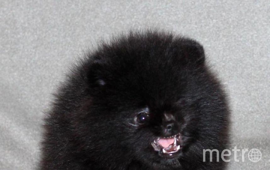 """Это наш щеночек """"Собаки Баскервилей"""". Зовут Плюша. Фото Ирины Жигалиной. Фото """"Metro"""""""