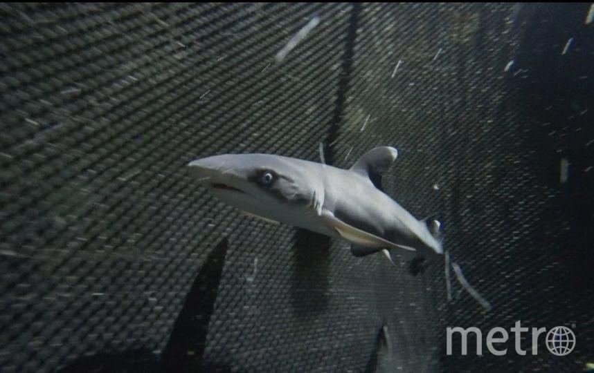 """«Рост» акулёнка 50 см, взрослый хищник в три раза длиннее. Живут белопёрые акулы в среднем 25 лет. Фото предоставлено океанариумом, """"Metro"""""""