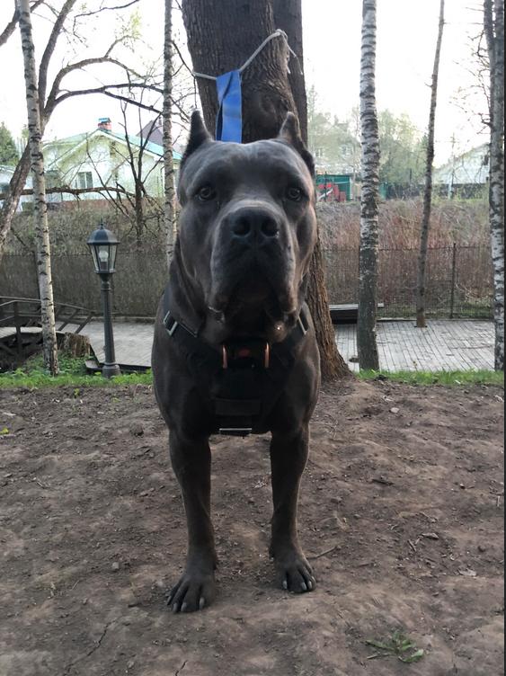 """А этого красавца зовут Амон, порода Кане Корсо. Его любимое занятие - тренировки по ЗКС (Защитно-караульная служба). Кстати, собака именно этой породы была выгравирована на трости доктора Мортимера, в серии собака Баскервилей. Фото Григорий, """"Metro"""""""