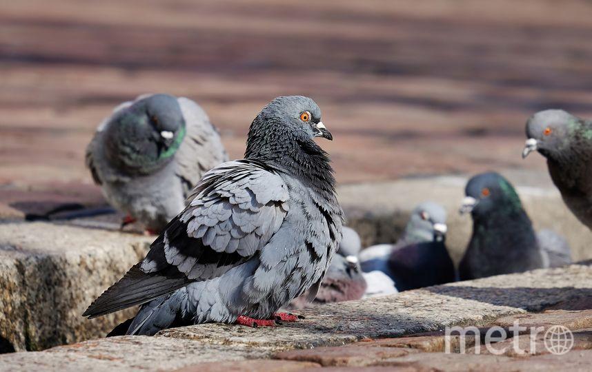 Туберкулёз был обнаружен у домашних голубей. Фото https://pixabay.com/