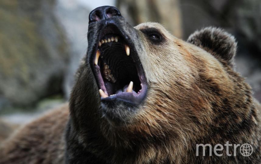 Бурый медведь, архивное фото. Фото РИА Новости