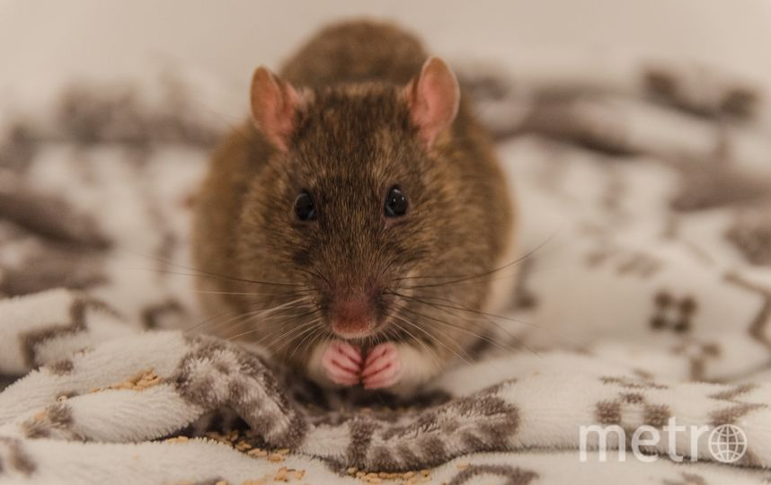 Крыса. Фото pixabay