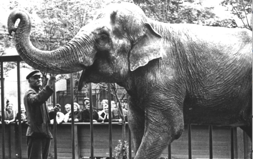 В Ленинградском зоопарке были слоны до 1982 года. Фото Ленинградский зоопарк, vk.com