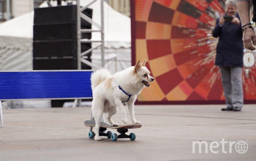 Московский пёс Филя (3 года) проехал на скейтборде 10 метров, по пути дважды перепрыгнув через барьеры. Дрессировщик Сергей Рубцов. Фото Фото предосталено пресс-службой Фестиваля цирковых искусств