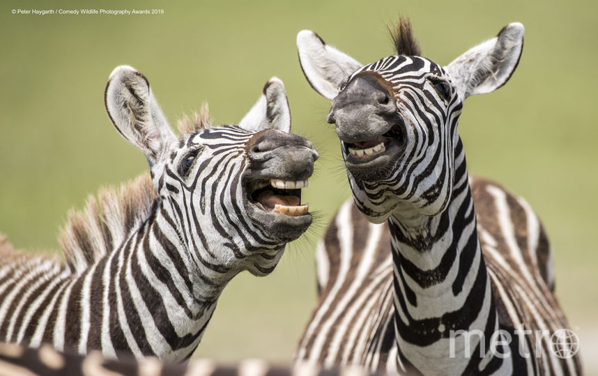 Смеющиеся зебры. Фото Peter Haygarth / Comedy Wildlife Photography Awards