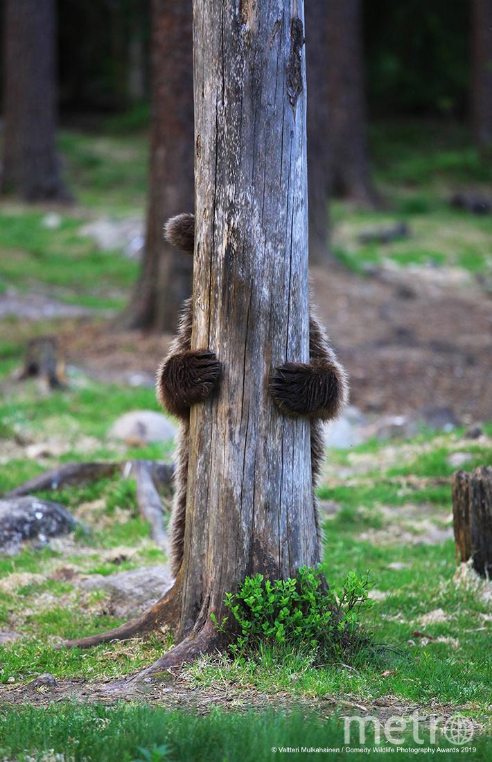 Раз, два, три, четыре, пять - я иду тебя искать. Фото Valtteri Mulkahainen / Comedy Wildlife Photography Awards