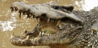 Крокодил, некогда принадлежавший Фиделю Кастро, откусил руку пожилому шведу