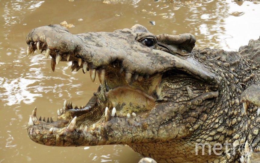 Кубинский крокодил занесён в Красную Книгу как находящийся под угрозой вымирания вид. Фото pixabay.com