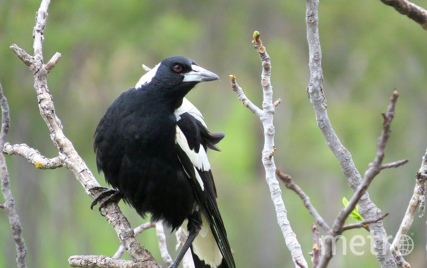 Ворона-свистун. Фото pixabay.com