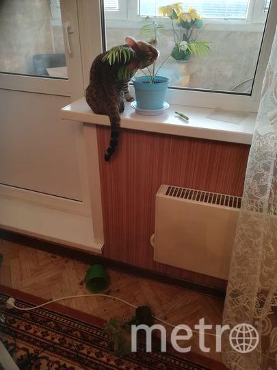 """Бенгальская кошка Нова уверяет, что в душе тоже """"собака Баскервилей"""". Фото Дмитрий, """"Metro"""""""