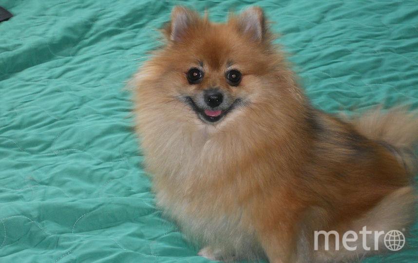 """Это красивая, строптивая, милая """"собака Баскервилей"""" Кнопка. Хозяева  её ужасно """"боятся"""". Фото Наталья, """"Metro"""""""