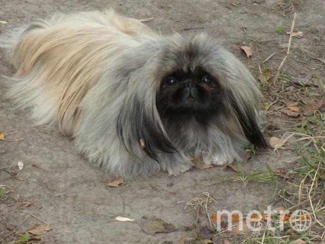 """И даже пекинес Нюша иногда может быть """"собакой Баскервилей"""". Фото Ирина, """"Metro"""""""