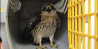Хищную птицу, которую атаковали кошки, спасли в Петербурге