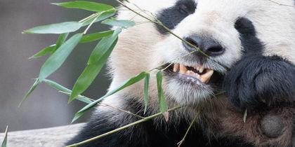 Смерть 19-летней панды в Таиланде вызвала вопросы у китайских властей