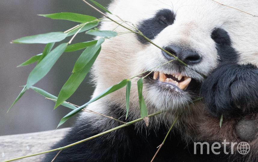 Как правило, в неволе панды живут около 25-30 лет. Архивное фото. Фото Getty