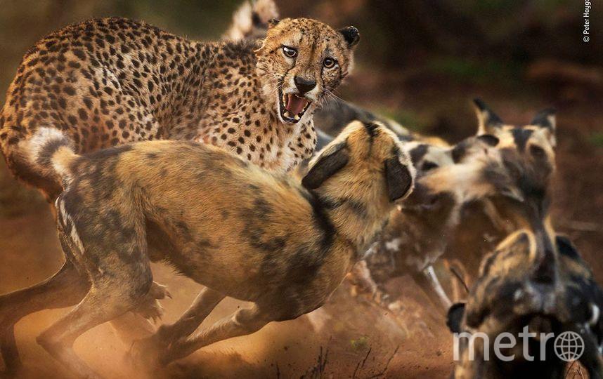 Столкновение кошек и собак. Фото Питер Хэйгарт | Wildlife Photographer of the Year