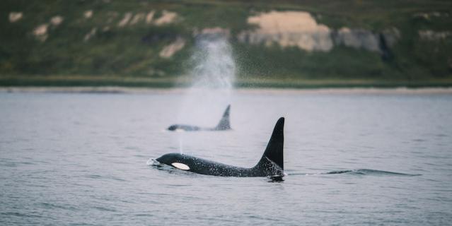 По словам Кирилла, нигде он не видел столько китов одновременно.
