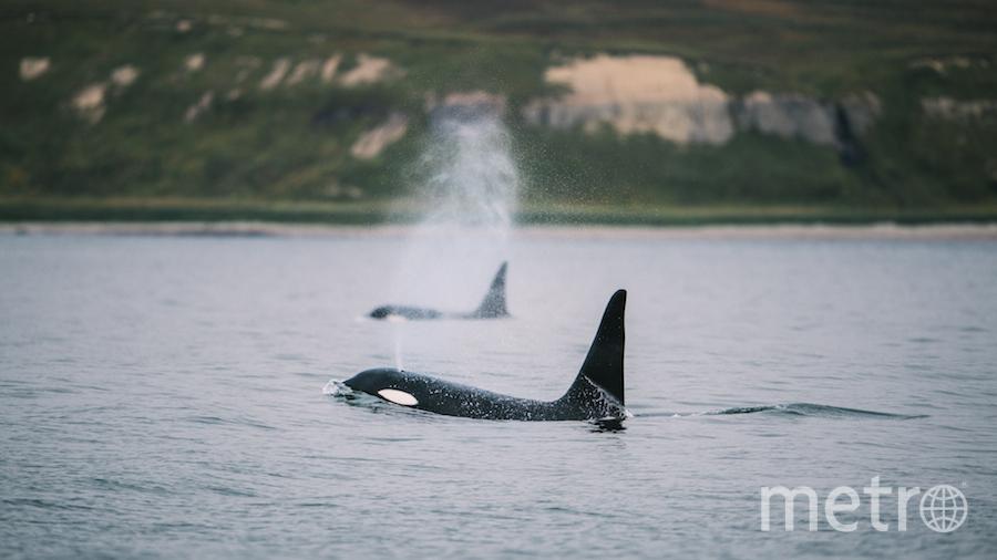 По словам Кирилла, нигде он не видел столько китов одновременно. Фото Кирилл Умрихин