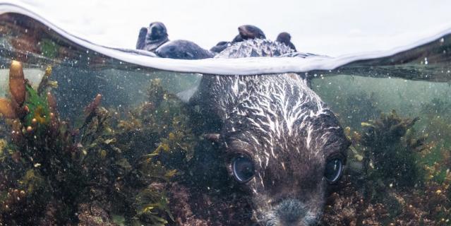 200 тысяч особей достигает популяция северных морских котиков в заповеднике на Командорских островах.