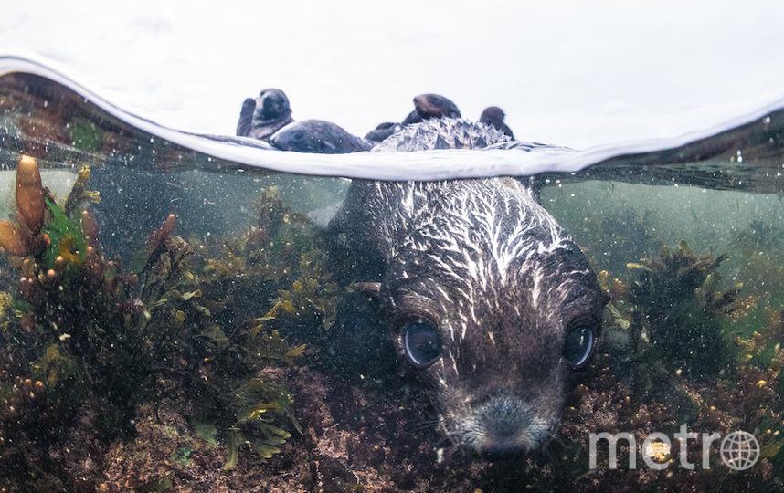 200 тысяч особей достигает популяция северных морских котиков в заповеднике на Командорских островах. Фото Кирилл Умрихин