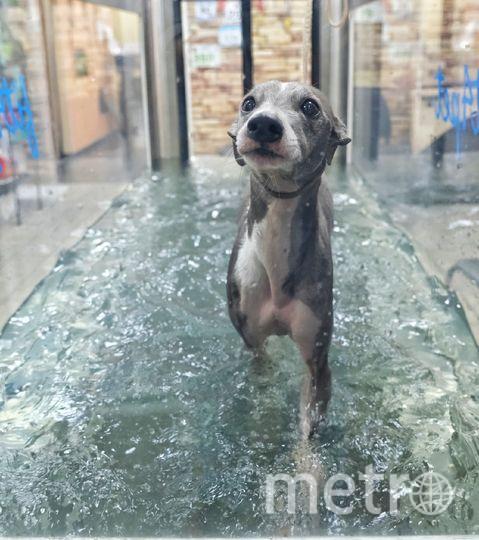 """Бамбук проводит на водной дорожке по 40 минут. Диапазон скоростей от 0,1 до 11 км в час. После занятий собаку обязательно сушат и подкармливают. Фото Алена Бобрович, """"Metro"""""""
