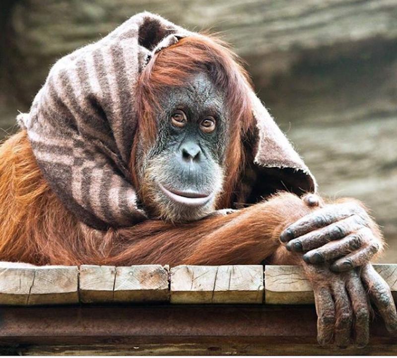 """В павильон """"Обезьяны"""" и другие вольеры Московского зоопарка со вчерашнего дня тоже начало поступать тепло. Фото скриншот instagram.com/moscow_zoo_official"""