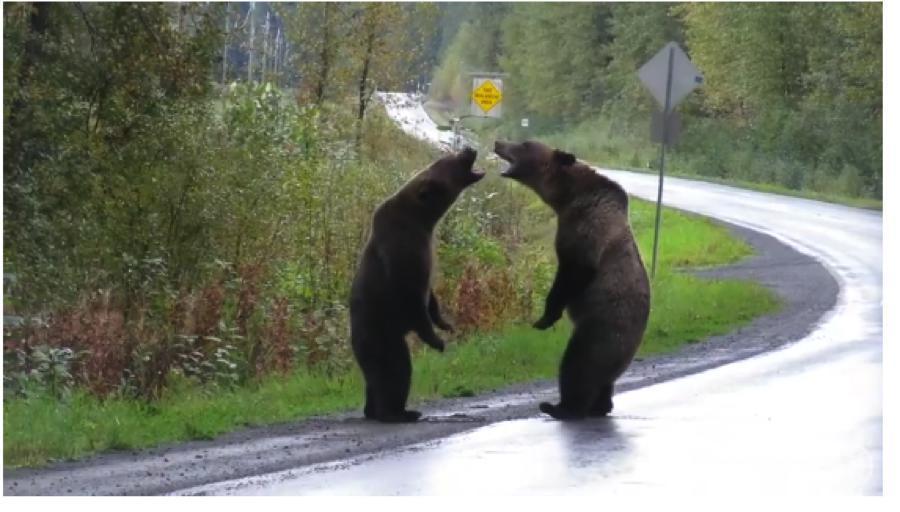 """Скриншоты эпичного видео с дерущимися медведями. Фото """"Metro"""""""