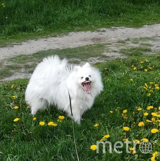 """Это Бредли!) Немецкий шпиц - непоседа и вредина, даже большие собаки обходят нас стороной. Фото Марина, """"Metro"""""""