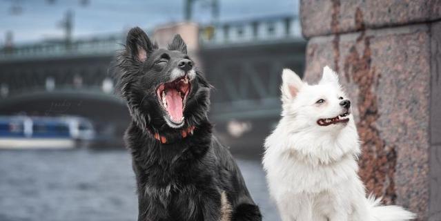 Мои девочки, мое черное и белое - страшно красивая собака Злата и младшенькая, белый шпиц Оса. На фотографии страшно зевает черная, но шпиц больше оправдывает звание страшной собаки - любит позудеть и поворчать на мир, хотя на самом деле - милая плюшка, больше всего на свете любящая людей и тисканье. Обожаю их!.