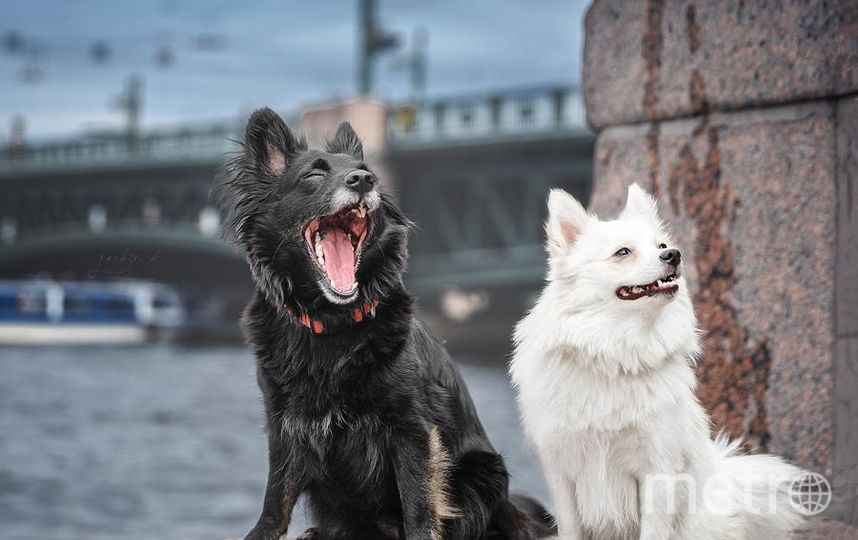 """Мои девочки, мое черное и белое - страшно красивая собака Злата и младшенькая, белый шпиц Оса. На фотографии страшно зевает черная, но шпиц больше оправдывает звание страшной собаки - любит позудеть и поворчать на мир, хотя на самом деле - милая плюшка, больше всего на свете любящая людей и тисканье. Обожаю их!. Фото -- Екатерина Латышева, """"Metro"""""""