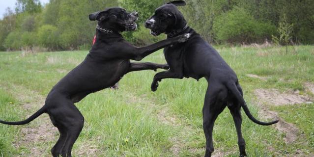 Немецкие доги Норильский Сувенир Витольда и Фаворит Елен Дог Леона - игры собак Баскервилей в полях.
