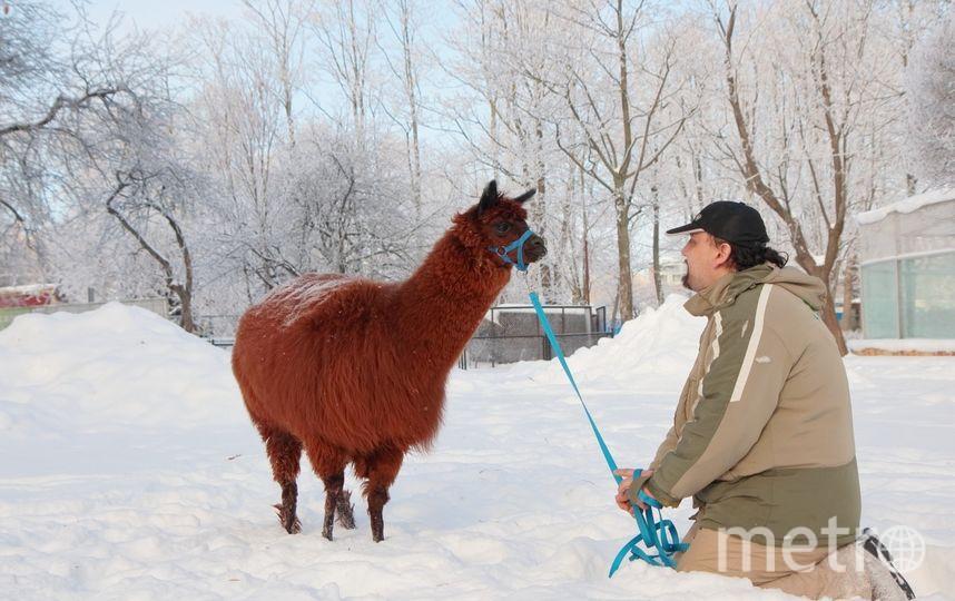 Влад Эгамов и альпака Бублик.. Фото Ленинградский зоопарк /vk.com/spbzoopark, vk.com