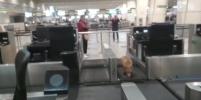 Лиса, бегавшая по аэропорту Домодедово, стала звездой зарубежных СМИ