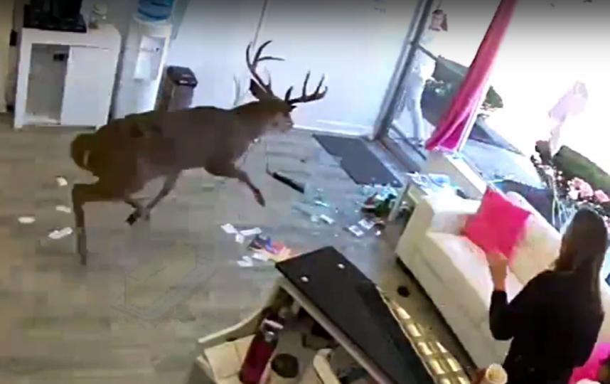 На записи видно, что за рога несчастного животного зацепился выпрямитель для волос. Фото Скриншот Youtube