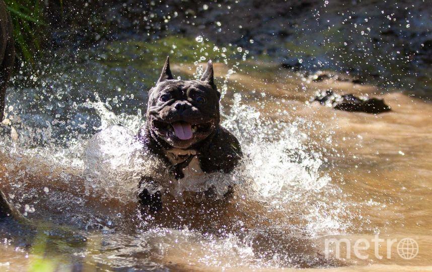 """Джина (французский бульдог) превращается в """"собаку Баскервилей"""" исключительно во время купания. Фото Анна, """"Metro"""""""