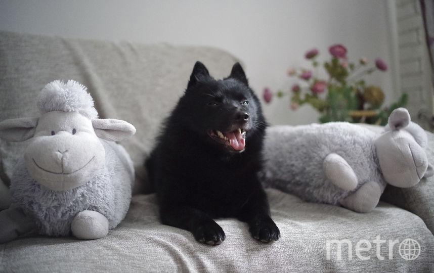"""Это шипперке Рокки. Ласковый дома, нежный с детьми, но серьёзный пёс с чужими - к хозяевам никого не подпустит. Пастух по духу - гроза куриц и овец, плюшевых тоже:). Фото Юлия, """"Metro"""""""