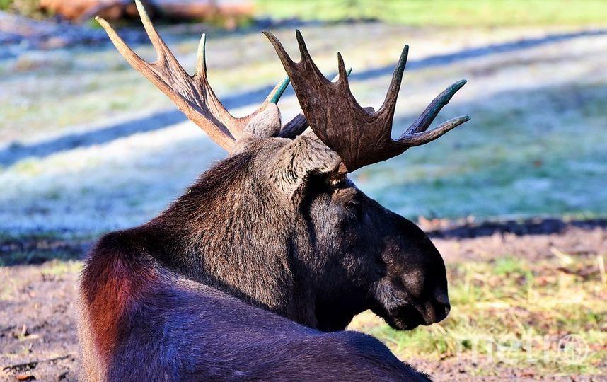"""Сейчас у животных идет сезон размножения, так называемый период гона. Фото https://pixabay.com, """"Metro"""""""