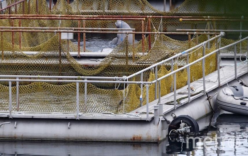 Белухи в бухте Средняя. Фото РИА Новости