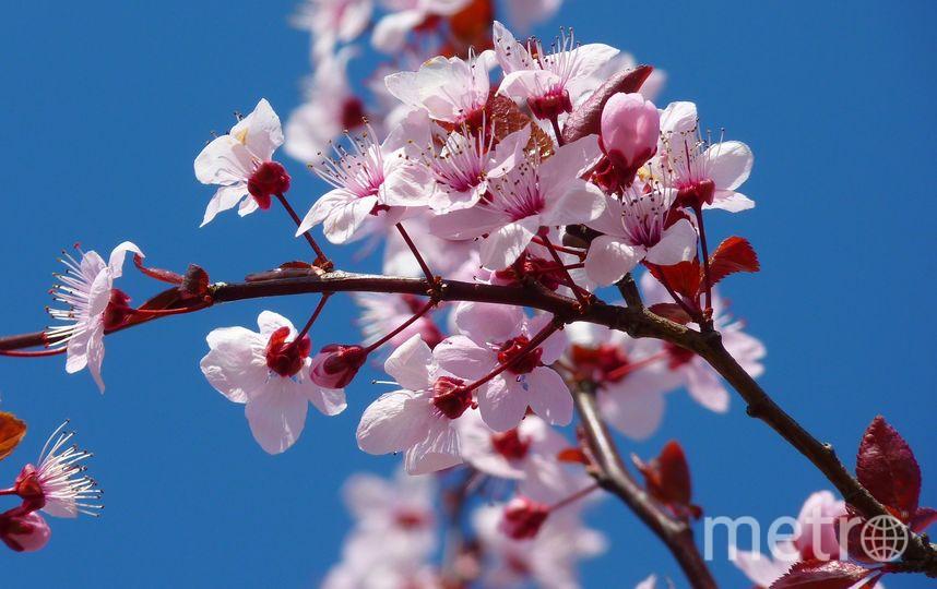 Сакура. Фото Pixabay