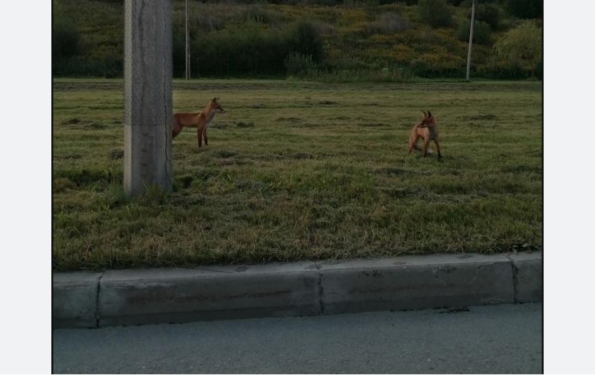 Двух лисиц заметили на Яхтенной улице в августе. Фото vk.com/lahta_spb, vk.com