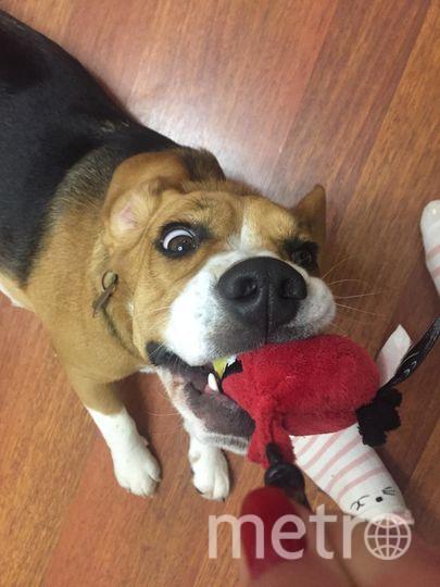 """""""Это наша любимица бигль Бася. Она ещё щенок, поэтому большая озорница"""". Фото Марина, """"Metro"""""""